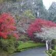 雨の小原の四季桜