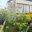 ヤナギバヒマワリが満開・・・強い花です!