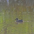 今日の水田地帯の鳥見:アカガシラサギ等