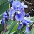 ジャーマンアイリス German Iris