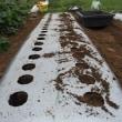 ゴボウの種を蒔きました。