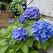 夏の羽生にて ―城沼公園の紫陽花―