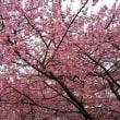西志津の河津桜