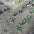 2月の定植 青梗菜とターサイ