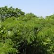 川原にネムノキの枝が広がって
