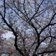 千鳥ヶ淵では桜満開