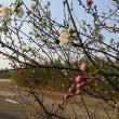 『桜まつり』のお知らせ
