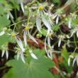 ジンジソウの花