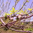 散歩道の「早咲き桜」と「白梅」に「実」が出来てました