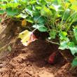 栗『ぽろたん』の収穫と安納芋の試し掘り。。
