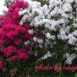 初王神社の花満開‼️