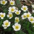 6月29日現在の姥ヶ原から東吾妻山の登山道概況と開花情報