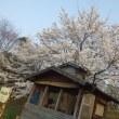 桜満開!春が来た!
