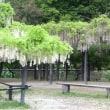 560.白井大町藤公園…、遅かった!