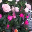 ブーケの白薔薇「ティケネ」、女王の薔薇「クイーンエリザベス」、今日の仕入れミニバラ、カルーナ、葉ボタン、シクラメン!