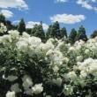満開のバラ 新宿御苑