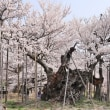日本最古 山高神代桜 ~ by 空倶楽部
