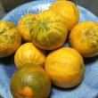 シマダイダイ(縞橙)チキュウカン