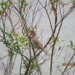トビの幼鳥