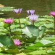 楽書き雑記「猛暑の街のオアシス。色とりどりスイレンと真っ白な胡蝶蘭=名古屋・久屋大通庭園の『フラリエ』へ」