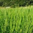 山の田圃の稲もやっと穂が出て来ました