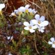 おはようの花」 バコパ(ステラ)1月