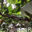 葡萄の樹の皮は大切です。