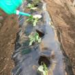 サツマイモのツルを植えました