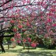 寒緋桜・・2