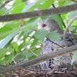マンションの木に山鳩が巣作りしました。