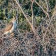 一期一会・・・鳥撮りの記  251 オオタカ