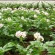 広がるジャガイモ畑