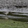 冬鳥シーズンに突入-2 「アオアシシギ」