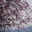 梅の花(いなべ農業公園Ⅱ)