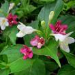 箱根空木(はこねうつぎ)という花
