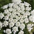 白いレースを連想させる「ノラニンジン」,恵庭の花-15