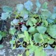樹木希林さん死去。心から哀悼の意を表します。/キャベツ、白菜、ブロッコリーの苗。秋蒔き野菜の種もいろいろ