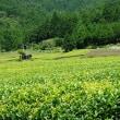 岐阜「天空の茶畑」・・・・・♪