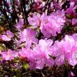 樹木ウォッチング冬から夏へ372エゾムラサキツツジ