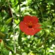 ノウゼンカズラ開花