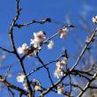 ロウバイ カワセミ 四季桜