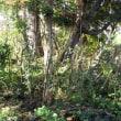 タラノ木の伐採