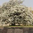 東京できょうにも桜の開花の発表
