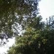 新潟県魚沼市、今泉真福寺の杉です!!