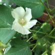 綿とオクラの花が咲いています
