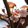 まだ頑張っています!…我が家の桜