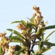 枇杷の花の蜜を吸うメジロの動き
