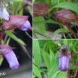 ナンバンギセルの花は