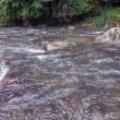 狩野川、掛かる鮎は20cm以上