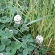 「おはようの花」 白詰草 (しろつめくさ) 6月
